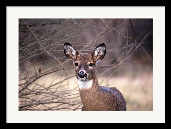 Deer Framed Print featuring the photograph 112601-30 by Mike Davis