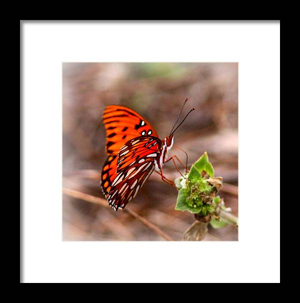 Butterfly Framed Print featuring the photograph 4534 - Butterfly by Travis Truelove