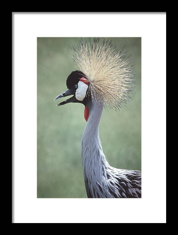 Crowned Crane Framed Print featuring the photograph 92347-5 by Mike Davis
