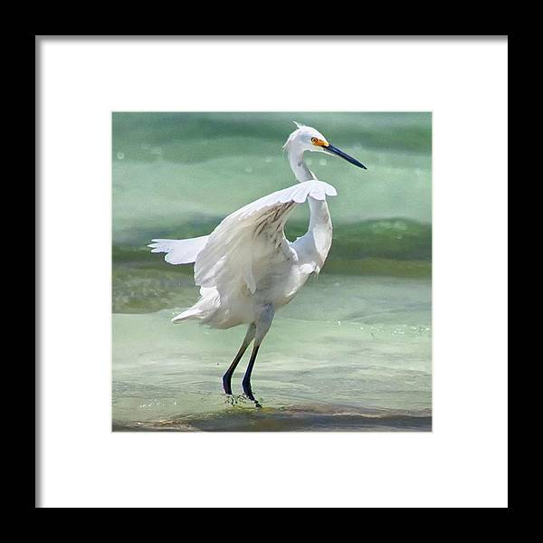Egret Framed Print featuring the photograph A Snowy Egret (egretta Thula) At Mahoe by John Edwards