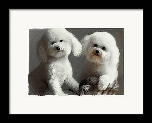 Bichon Frise Framed Print featuring the photograph All Smiles by Lynn Andrews