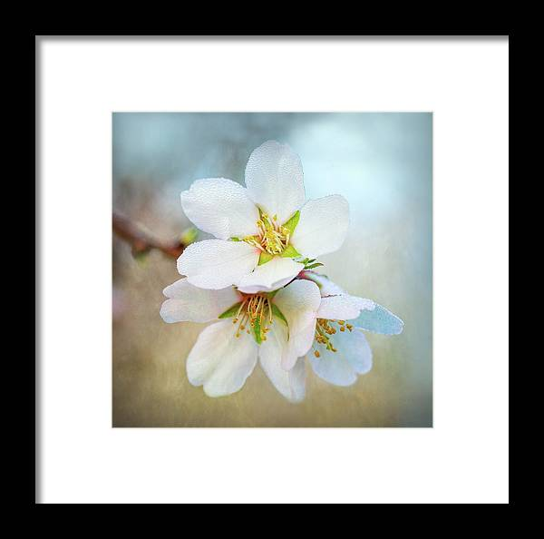 Almond Blossoms Framed Print featuring the photograph Almond Blossoms by Joan Baker