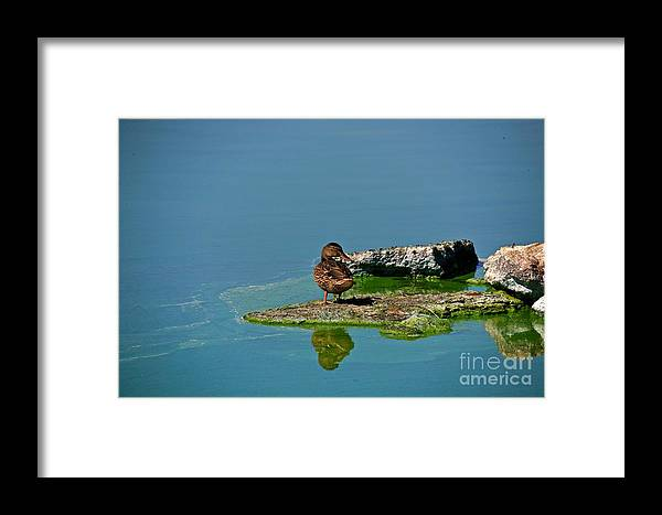 Duck Framed Print featuring the photograph Alone by Robert Pearson
