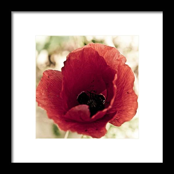 Flower Framed Print featuring the photograph Amapola by Felix M Cobos