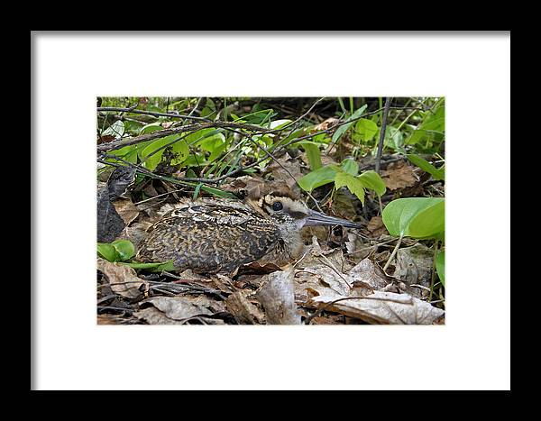 American Woodcock Framed Print featuring the photograph American Woodcock Chick by Asbed Iskedjian