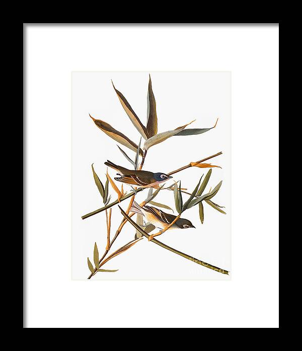 1838 Framed Print featuring the photograph Audubon: Vireo by Granger