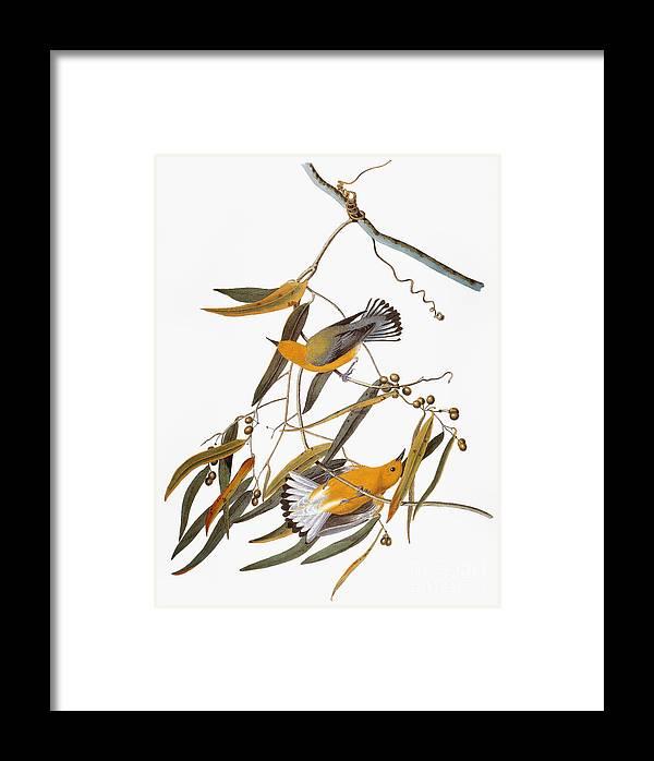 1838 Framed Print featuring the photograph Audubon: Warbler by Granger