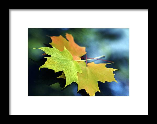 Leaf Framed Print featuring the photograph Autumn Leaves by Dmitriy Margolin