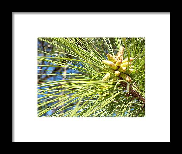 Pine Cones Framed Print featuring the photograph Baby Pine Cone by Maxine Billings
