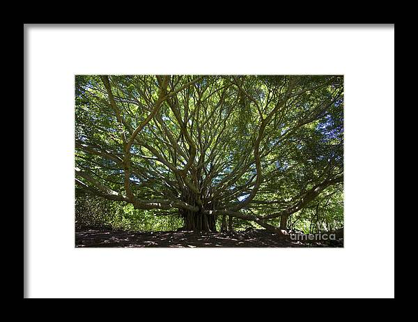 Banyon Framed Print featuring the photograph Banyon Tree by Greg Clure