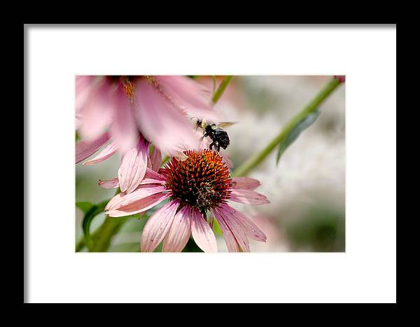 Bee Framed Print featuring the photograph Bee Leaving Flower by Lita Kishbaugh