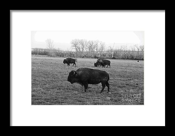 Bison Framed Print featuring the photograph Bison In Black And White by Yumi Johnson