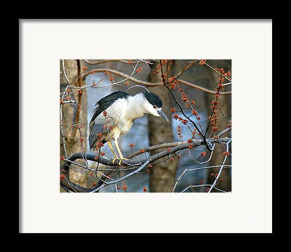 Birds Framed Print featuring the photograph Black-crowned Night Heron by Neil Doren