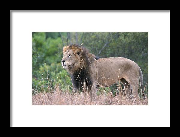 Lion Framed Print featuring the photograph Black Maned Lion by Sandra Bronstein