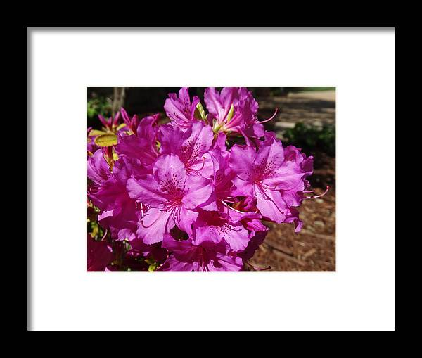 Flower Framed Print featuring the photograph Blooming Azaleas by Greg Boutz