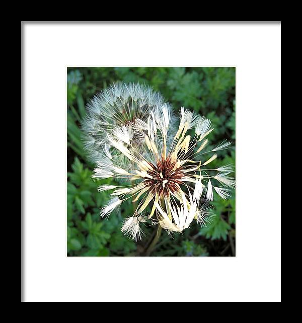 Dandelions Framed Print featuring the photograph Blown Wishes 2 by Zully Bartley