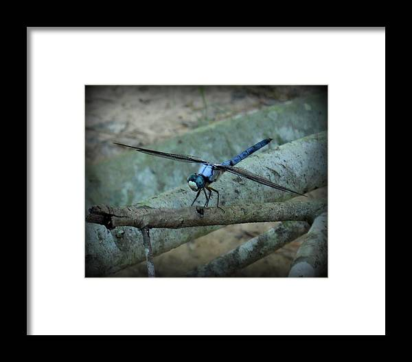 Dragonfly Framed Print featuring the photograph Blue Dragonfly by Adam Coleman
