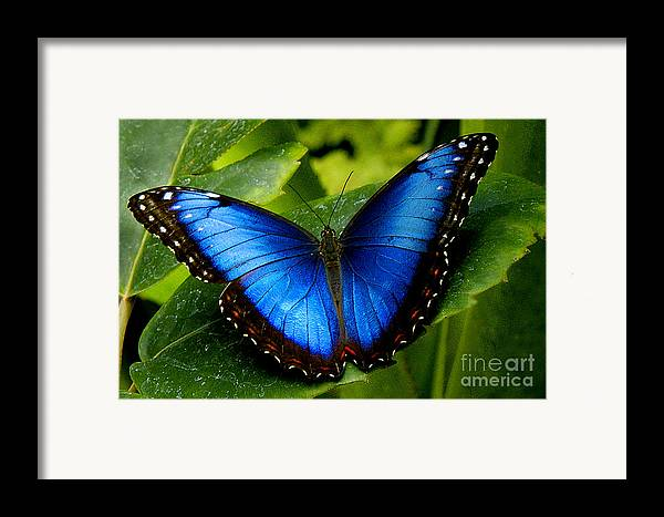 Butterfly Framed Print featuring the photograph Blue Morpho by Neil Doren