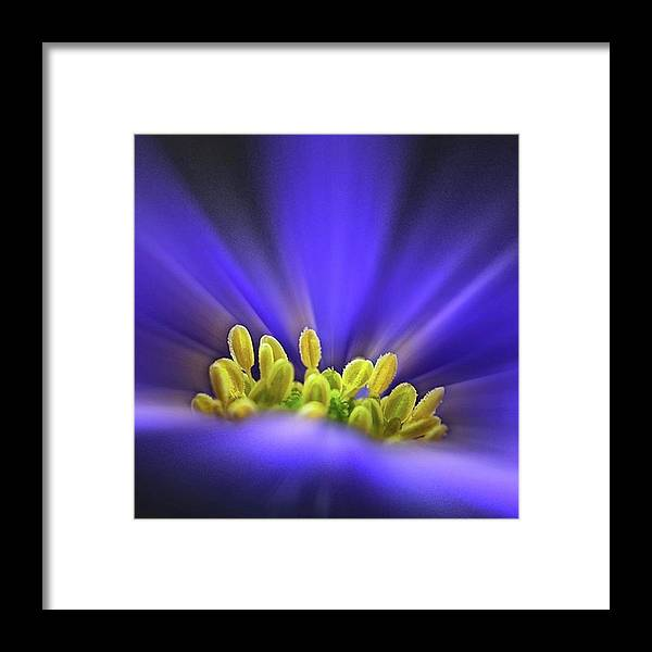 Beautiful Framed Print featuring the photograph blue Shades - An Anemone Blanda by John Edwards