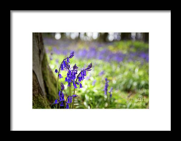 Spring Framed Print featuring the photograph Bluebells by Jane Rix