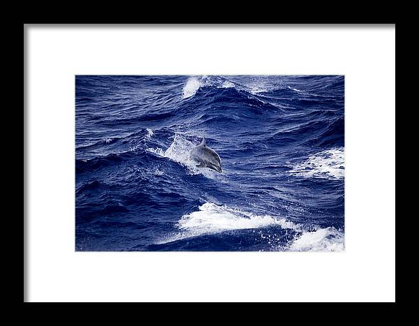 Bottlenose Dolphins Framed Print featuring the photograph Bottlenose Dolphin Tursiops Truncatus by Tim Laman