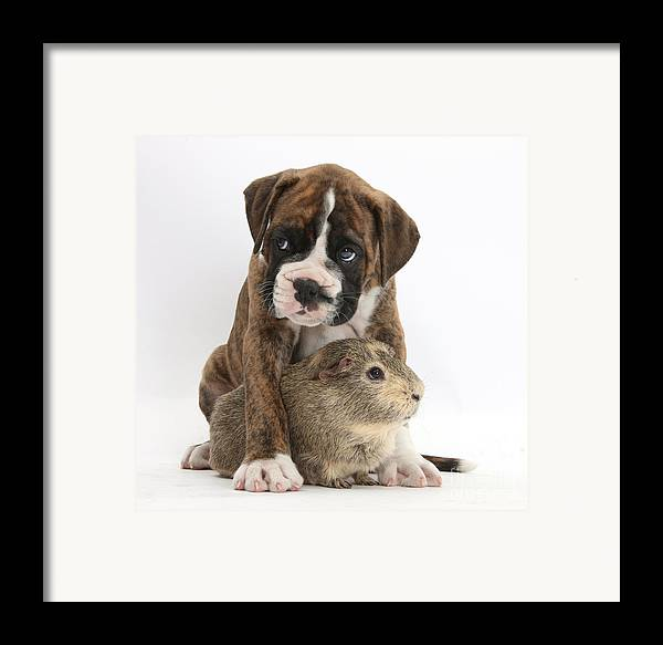 Nature Framed Print featuring the photograph Boxer Puppy And Guinea Pig by Mark Taylor