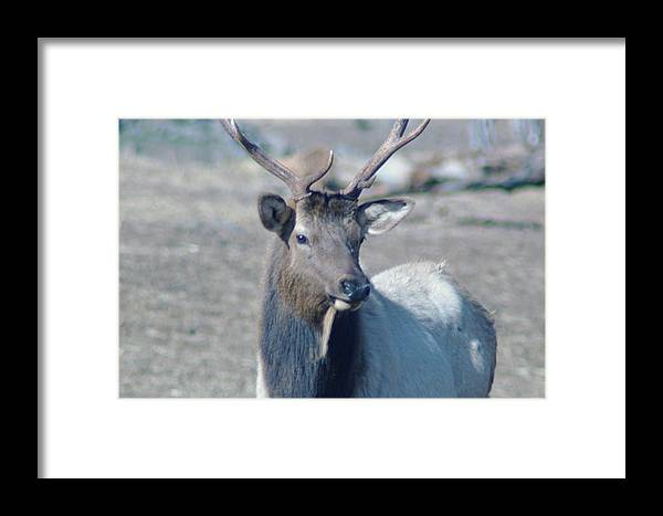 Elk Framed Print featuring the photograph Bull Elk by Jeff Swan