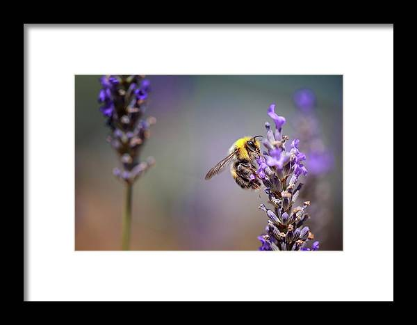 Lavender Framed Print featuring the photograph Bumblebee And Lavender by Nailia Schwarz