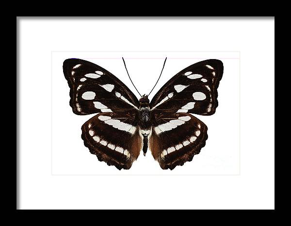 Malaysia Framed Print featuring the painting butterfly species Athyma reta moorei by Pablo Romero
