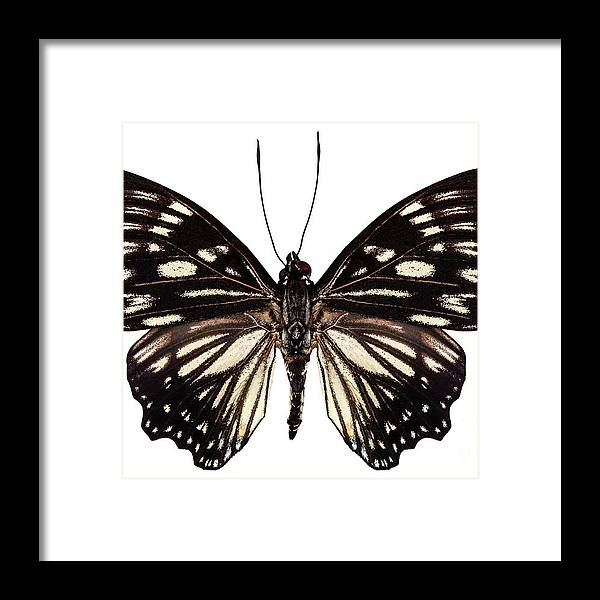 Malaysia Framed Print featuring the painting Butterfly Species Euripus Nyctelius Euploeoides by Pablo Romero