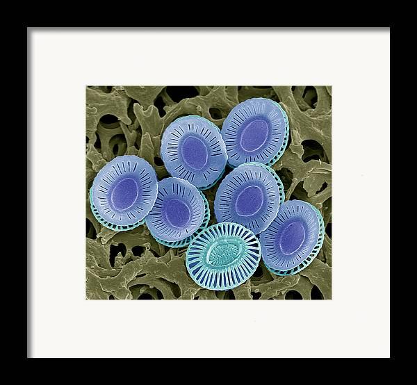 Emiliana Huxleyi Framed Print featuring the photograph Calcareous Phytoplankton Plates, Sem by Steve Gschmeissner