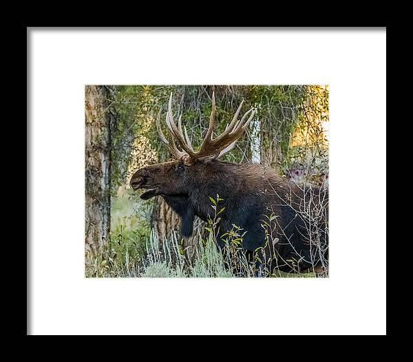 Moose Framed Print featuring the photograph Calling All His Girls by Yeates Photography