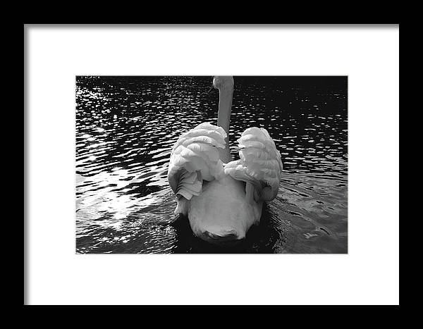 Swan Framed Print featuring the photograph Calm by Darren Johnson