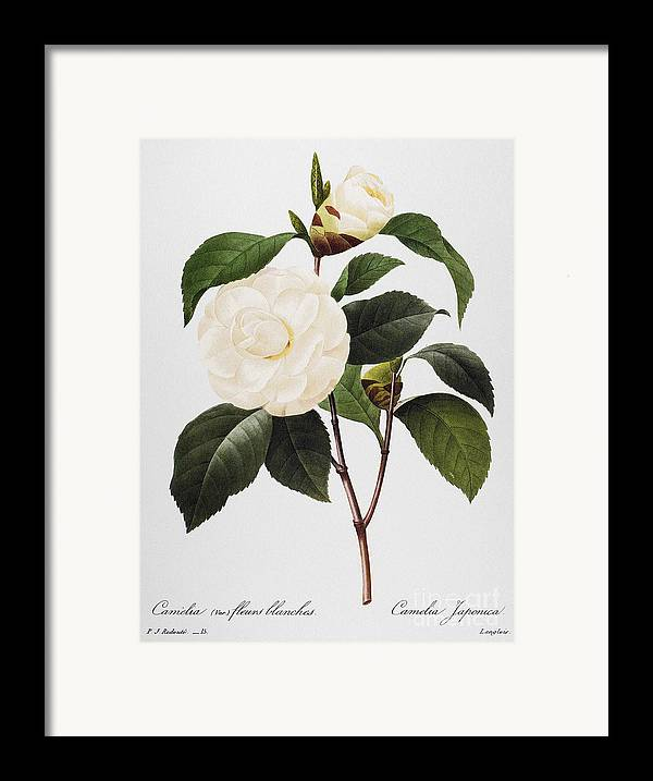 1833 Framed Print featuring the photograph Camellia, 1833 by Granger