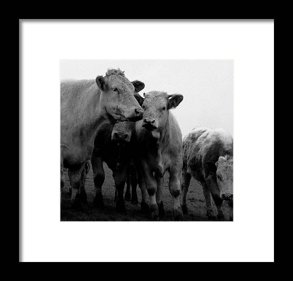 Cheshire Cattle Framed Print featuring the photograph Cheshire Cattle by John Bradburn