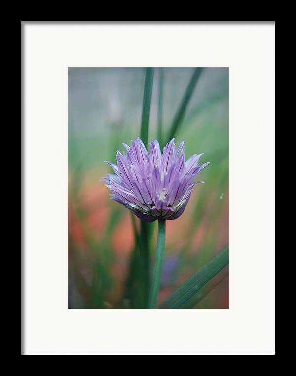 Flowers Framed Print featuring the photograph Chive Flower by Lisa Gabrius