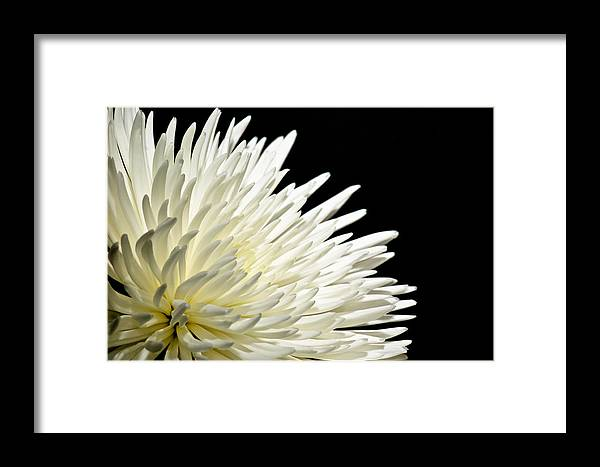 Botanical Framed Print featuring the photograph Chrisanthium On Black by Edward Myers
