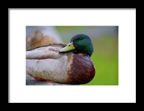 Mallard Framed Print featuring the photograph Close Up by Tony Umana