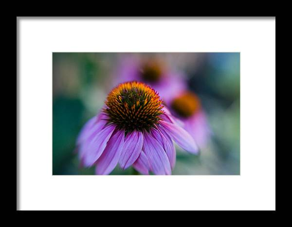 Conflower Framed Print featuring the photograph Coneflower Ballet by Sandy Belk