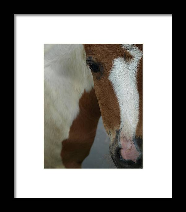 Pinto Framed Print featuring the photograph Curious Foal by Kim