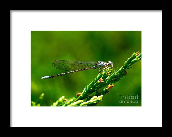 Damselfly Framed Print featuring the photograph Damselfly by Marc Bittan