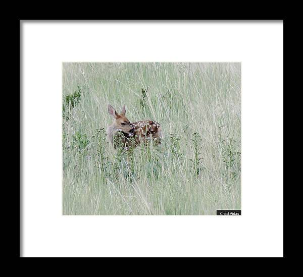 Colorado Framed Print featuring the photograph Denver Fawn by Chad Vidas