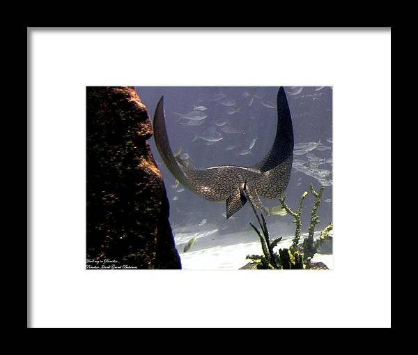Fish Framed Print featuring the photograph Devilray In Paradise by Robert Meanor