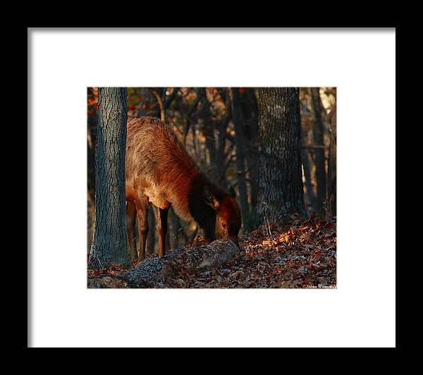 Elk Framed Print featuring the photograph Dinnertime by Steve Warnstaff