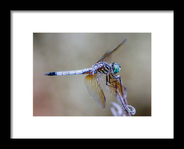 Dragonfly Framed Print featuring the photograph Dragonfly by Paul Gibson