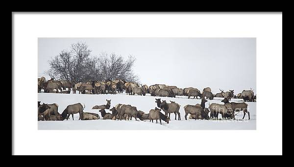 Elk Framed Print featuring the photograph Elk Herd In The Snow by Carolyn Fox