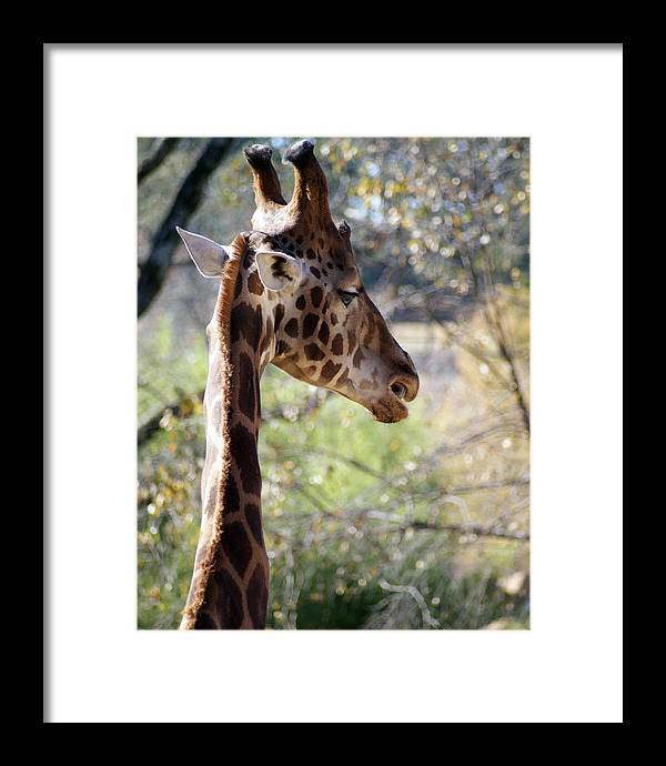 Photography Framed Print featuring the photograph Fall Giraffe I by Angie Dixon