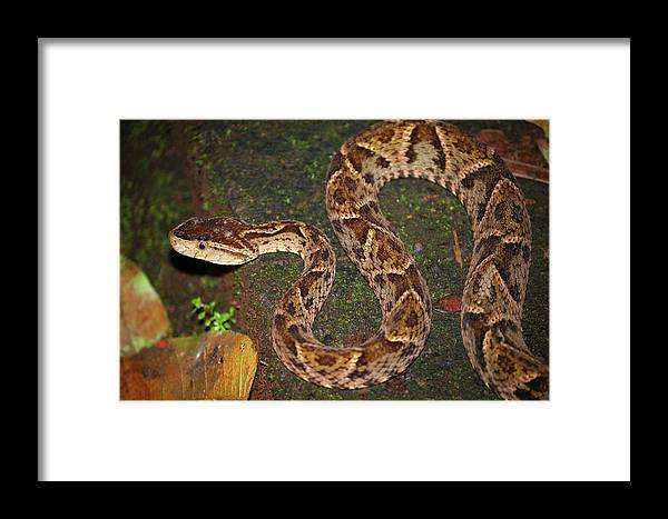 Fer-de-lance Framed Print featuring the photograph Fer-de-lance, Bothrops Asper by Breck Bartholomew