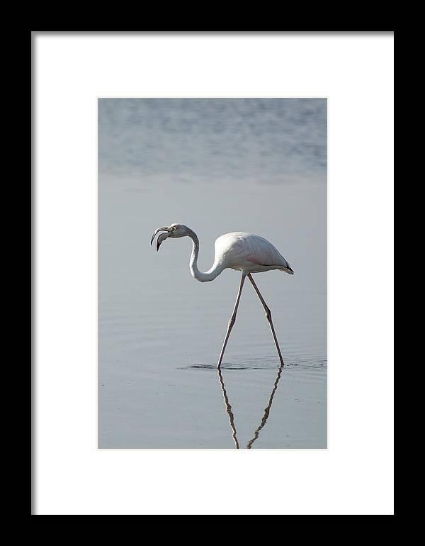 Flamingo Framed Print featuring the photograph Flamingo by Fayez Alnaqbi