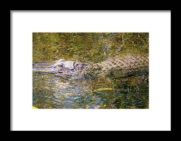 Alligator Framed Print featuring the photograph Florida Alligator by Gregory Gendusa